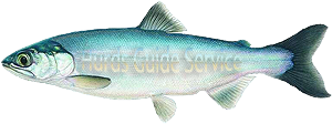 Kokanee Fishing - Hurds Guide Service