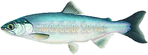 Kokanee Salmon - Hurds Guide Service