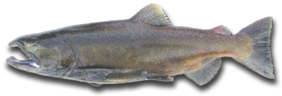 Chinook Salmon Spawning Phase - Hurds Guide Service