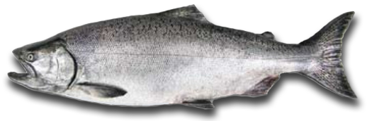 Chinook Salmon Ocean Phase - Hurds Guide Service