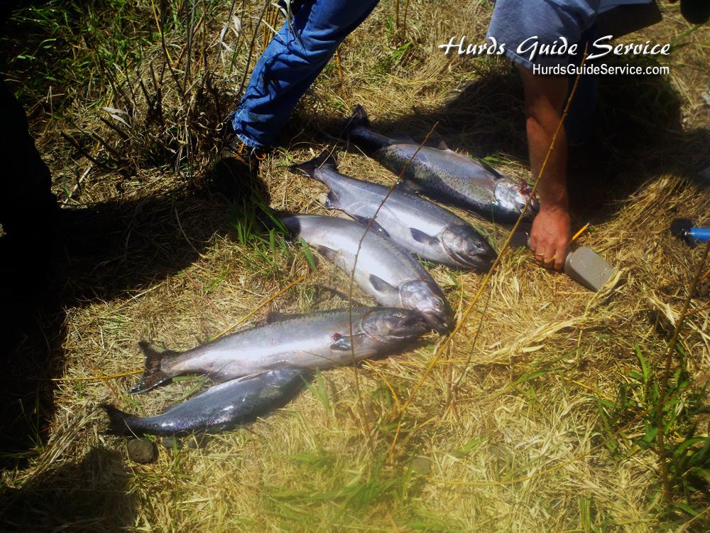 Leavenworth wa icicle river salmon pasco kenniwick for Columbia river fish counts