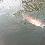 Sturgeon_Fishing_Hurds_Guide_Service_27