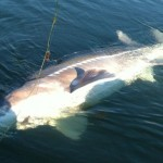 Sturgeon_Fishing_Hurds_Guide_Service_43