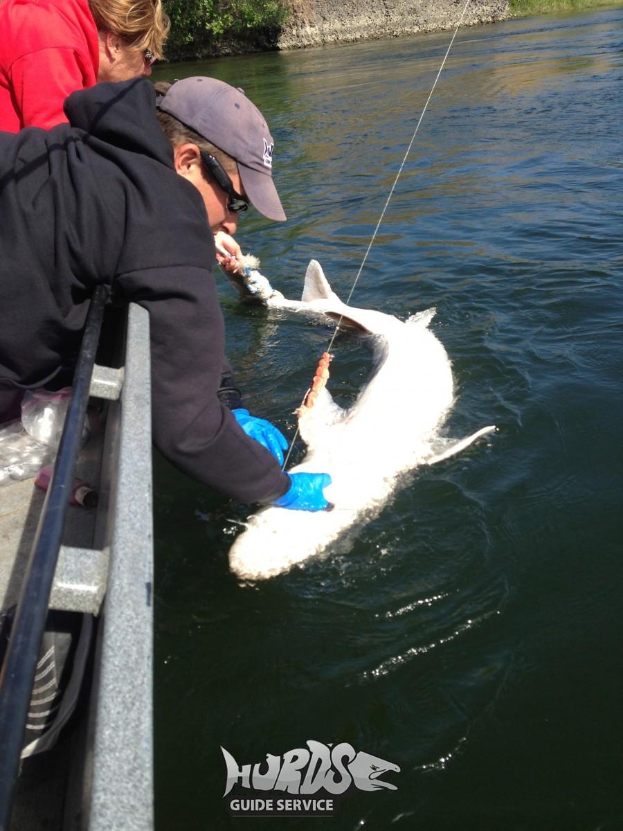 Sturgeon hurds guide service for Sturgeon fishing washington