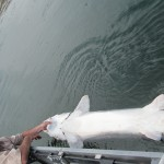 Sturgeon_Fishing_Hurds_Guide_Service_67
