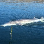 Sturgeon_Fishing_Hurds_Guide_Service_70