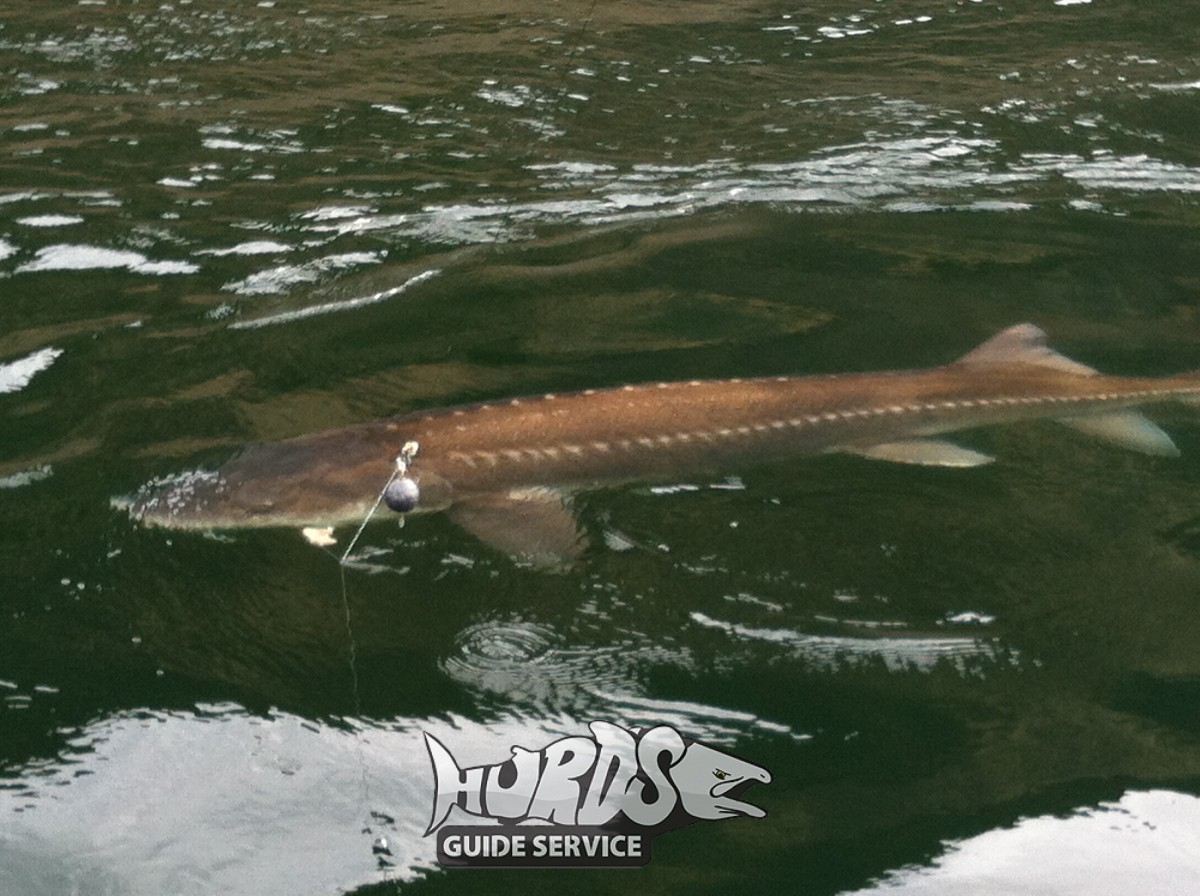The River Monsters - Huge White Sturgeon caught on the ...