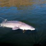 Sturgeon_Fishing_Hurds_Guide_Service_87