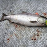 Spring_Chinook_Salmon_Hurds_Guide_Service_03